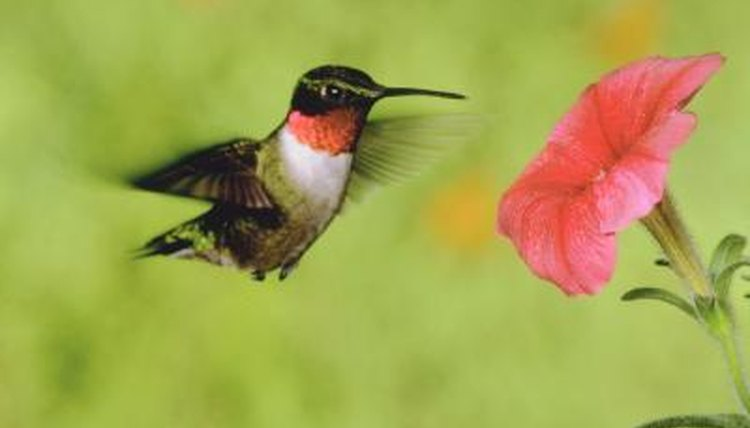 How To Detect A Female From A Male Hummingbird Animals Mom