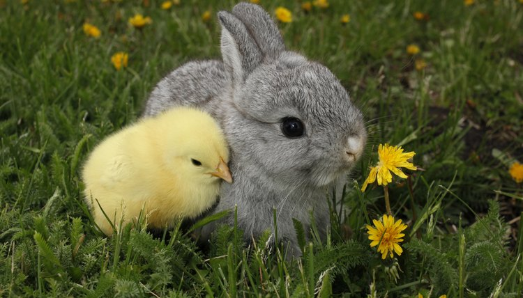 Special Precautions for Raising Rabbits and Chickens