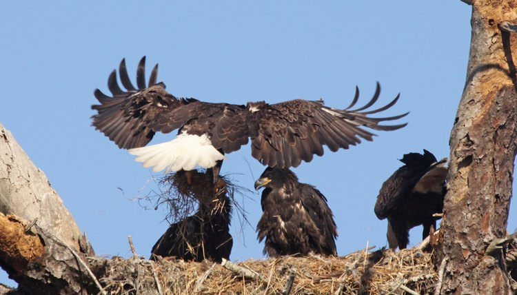 How Do Eagles Learn To Fly? | Animals - mom.me