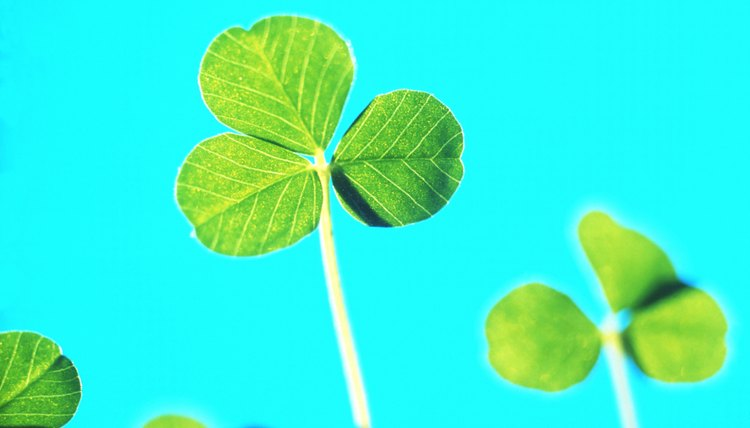 The clover is a symbol of the Trinity.