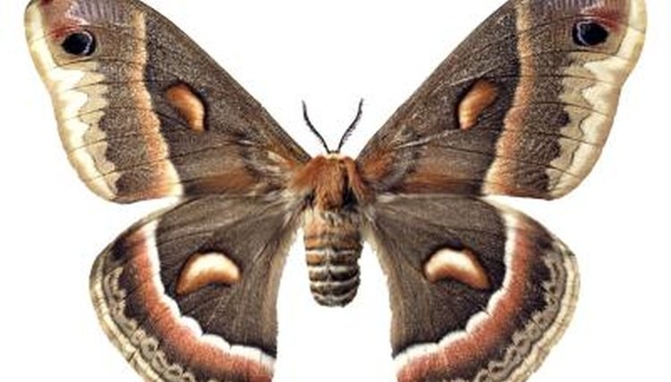 Varieties Of Large Moths Animals Momme