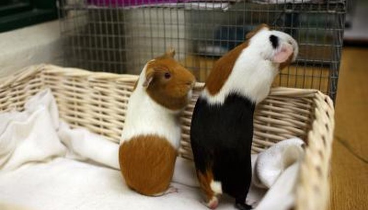 Do Cats Get Along With Guinea Pigs