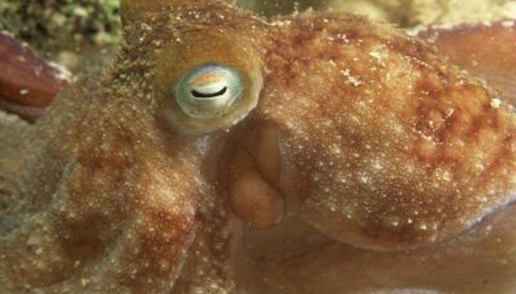 pet octopus species animals mom me