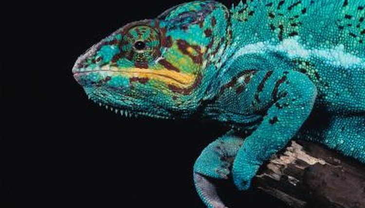Do Chameleons Tell Their Body Which Color To Change To