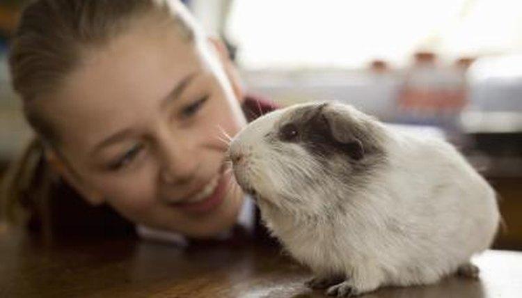 Guinea Pig Flea Treatments | Animals - mom me
