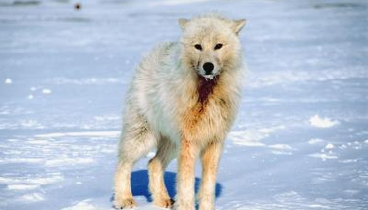 What Kind Of Home Do Arctic Wolves Live In Animals Mom Me