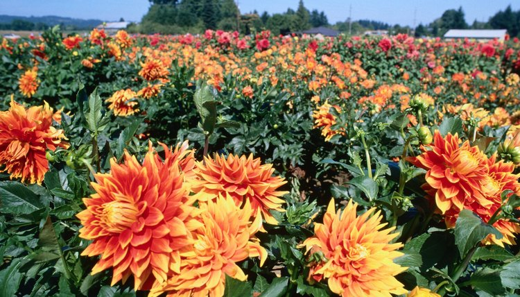 Field of flowering dahlias