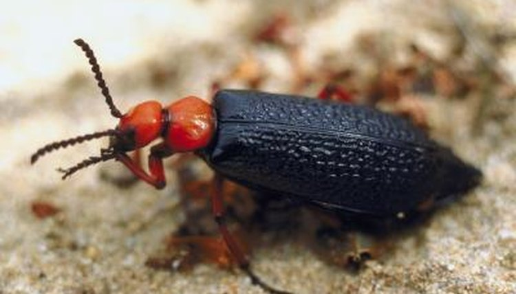 Texas Black Beetles That Bite | Animals - mom me