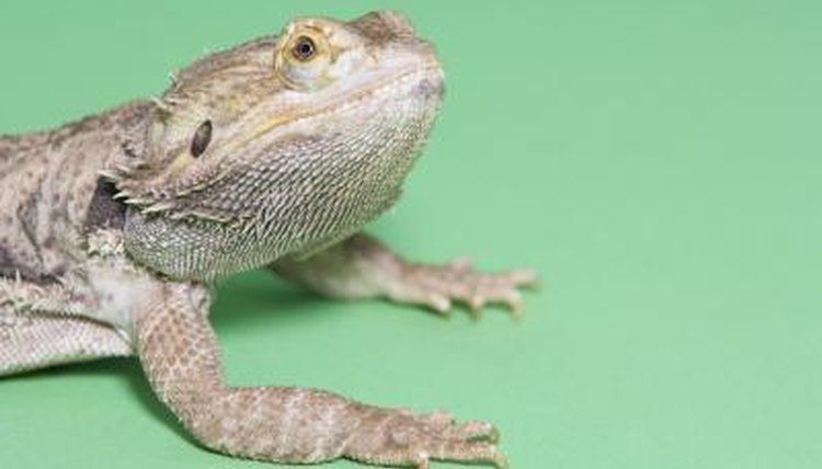 Bearded Dragon Sick