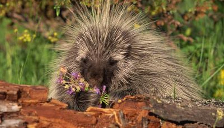 adaptation of porcupines