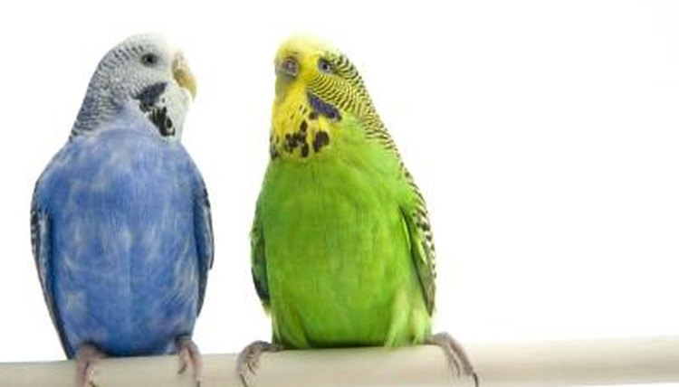 Should I Replace a Parakeet's Lost Mate? | Animals - mom me