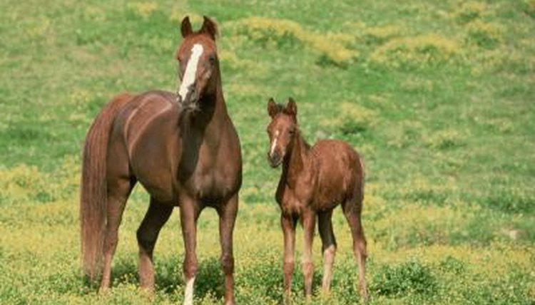 How Soon Will a Horse Come Into Heat After Giving Birth