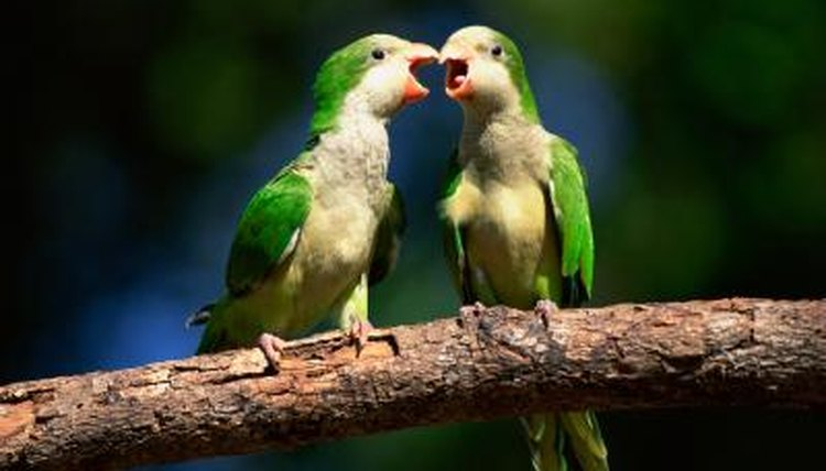 Signs of Courtship in Lovebirds | Animals - mom me