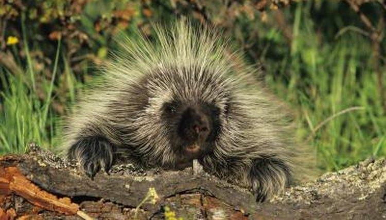 Do Porcupine's Quills Grow Back? | Animals - mom.me