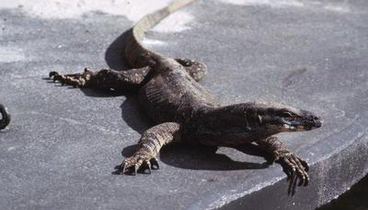 Lifespan of a Goanna Lizard | Animals - mom me