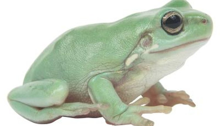 What Is That Bubble Under a Frog's Neck?   Animals - mom me