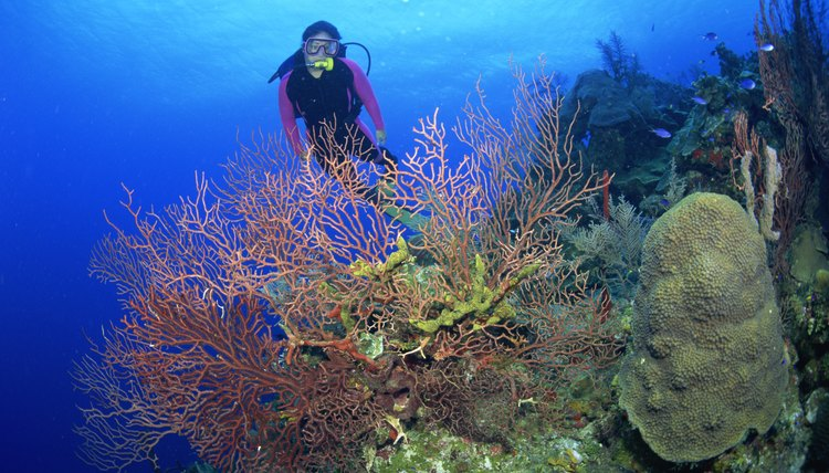 Diver and Gorgonian Sea Fans