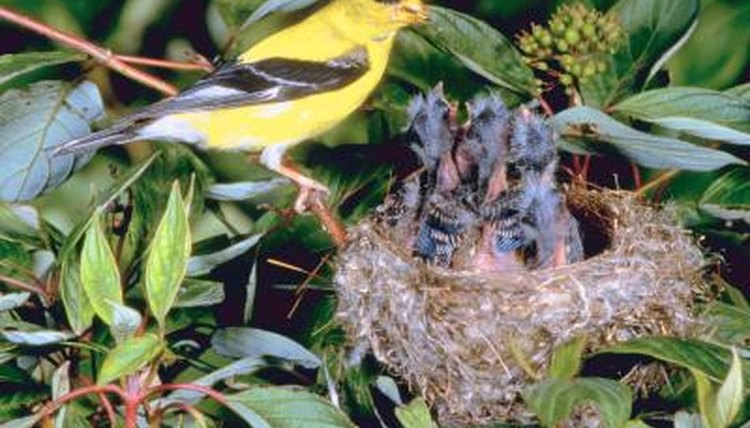 Do Goldfinches Nest in Boxes? | Animals - mom.me