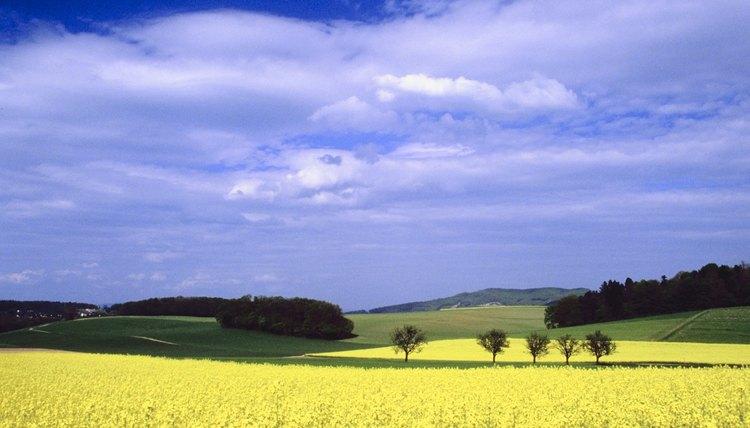 Mustard seed field.