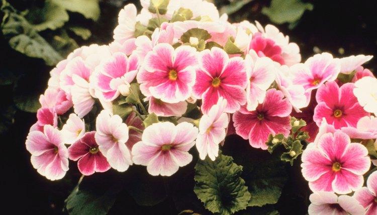 Assorted blooming primroses
