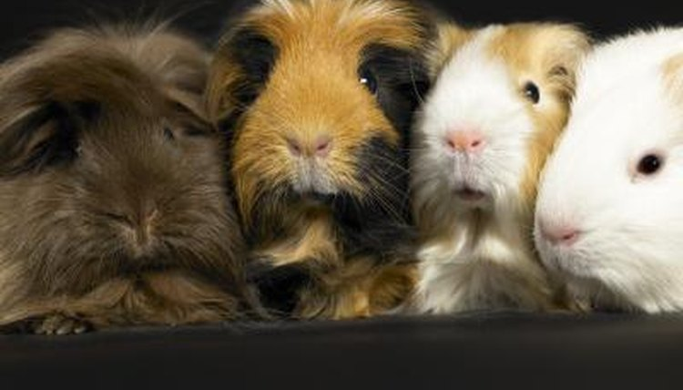Complete List of Safe Vegetables Good for Guinea Pigs