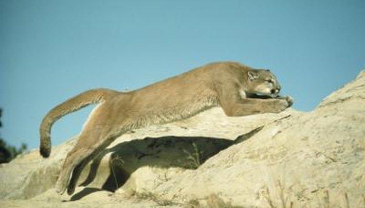 land speed of a puma animals mom me