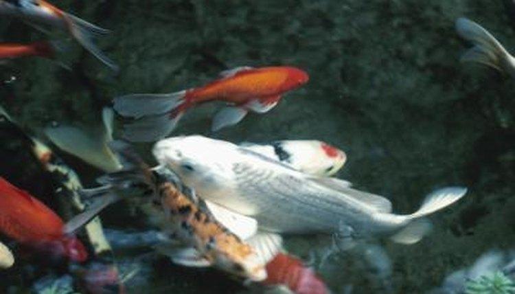 Distinguishing sex of fish talented idea