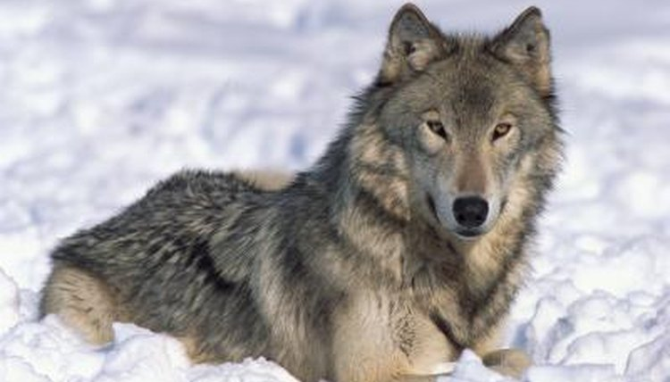 The Family Life Reproduction Of Wolves Animals Mom Me