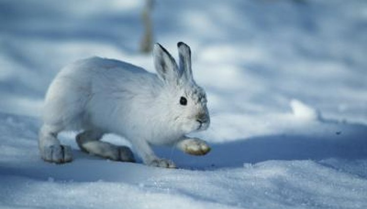 Differences Between Cottontail Rabbits and Snowshoe Hares