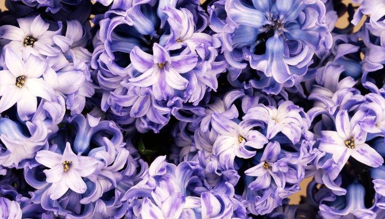 Hyacinths ask forgiveness.