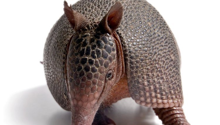 Before the Great Depression, impoverished families who dines on armadillos referred to them as
