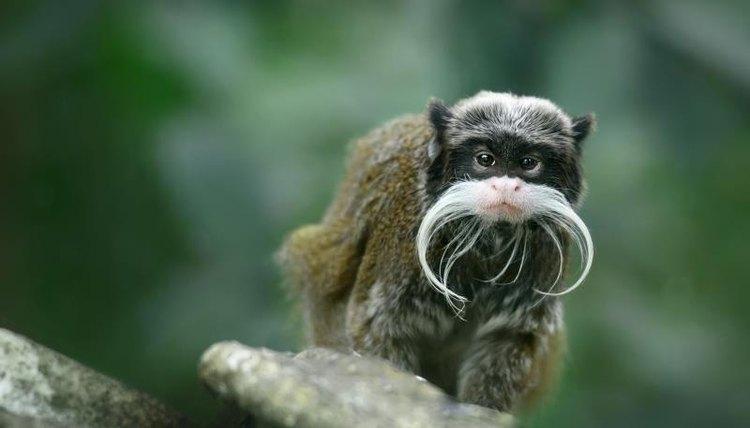 The Habitat of the Mustache Monkey | Animals - mom me