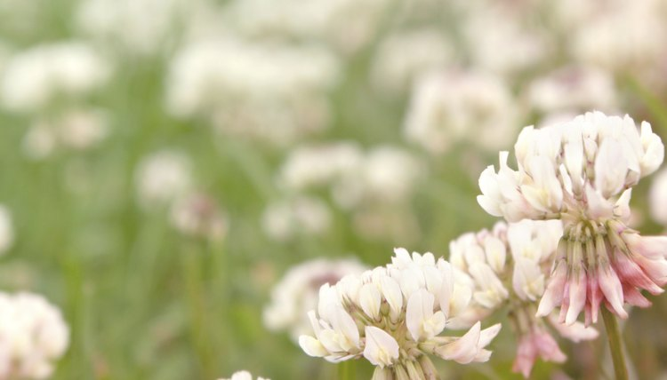 The Gaelic word seamrog refers to the worl clover such as white clover.