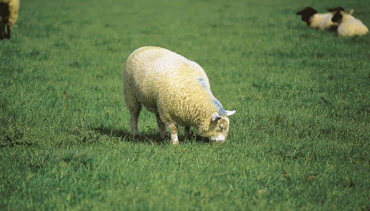How to Help Sheep That Have Bloat | Animals - mom me
