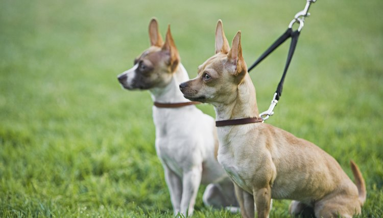 Two Chihuahuas on leash