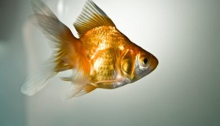 How Long Before Goldfish Hatch? | Animals - mom me