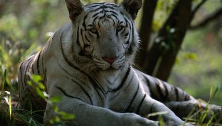 In What Countries Is the White Tiger Found? | Animals - mom me