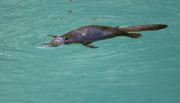 The Adaptations of the Platypus | Animals - mom.me
