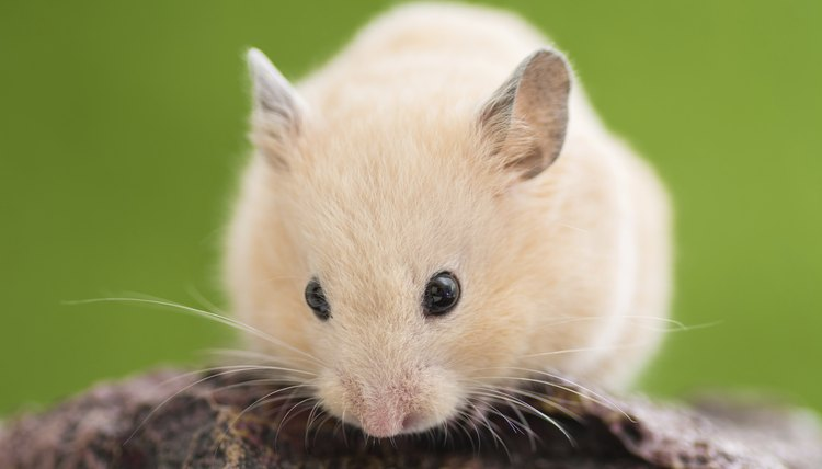 How to Heal a Hamster's Eye Infection? | Animals - mom me