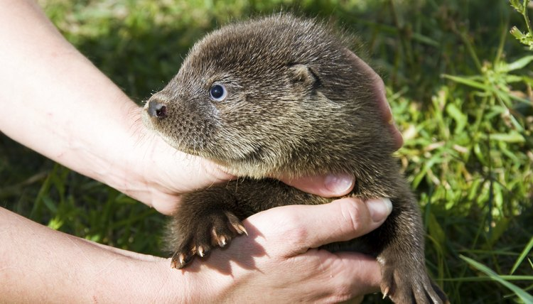 Orphaned otter baby
