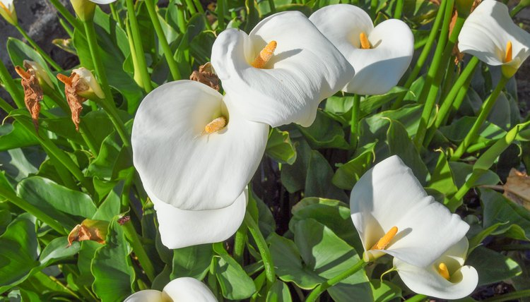 the significance of lily barts death Lilies facts, biology of the lily plants, growing, care, preserving and tips with pictures and recommended lily bouquets and arrangements to send and buy the flower expert guide on flowers & gardening.