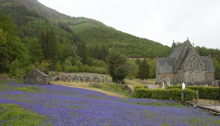 Field of bluebells grown near the Church of St. John in Ballachulish, Scotland