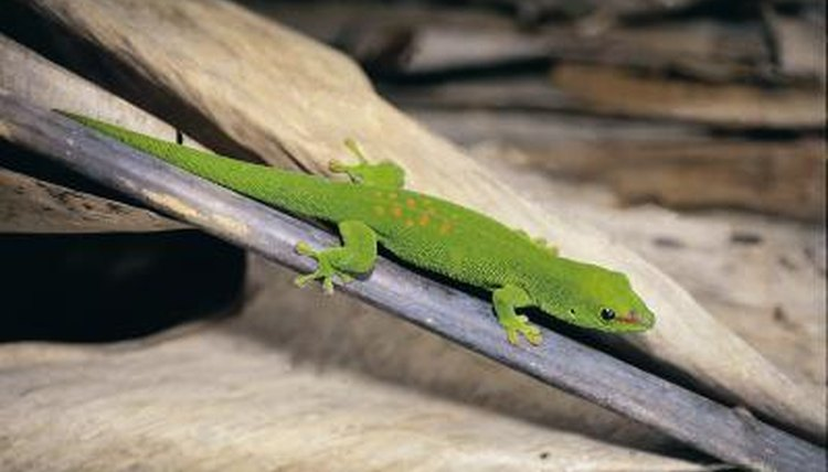 Facts on Gecko Reproduction | Animals - mom me