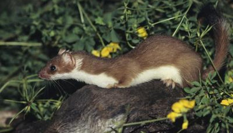 Weasel Animal