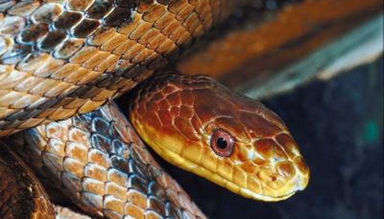 Snakes in Nevada | Animals - mom me