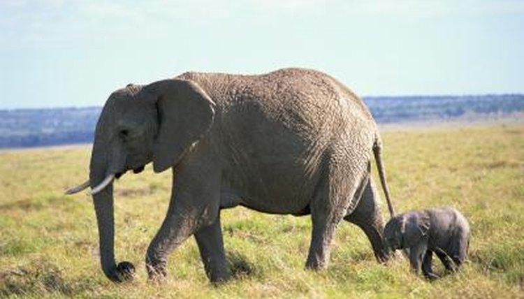 Elefant sex video