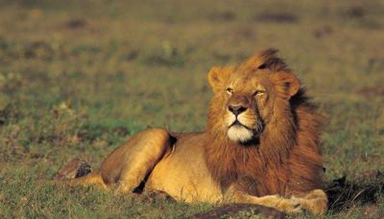 Do lions have good senses animals mom photosphotosgetty images m4hsunfo