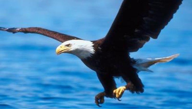 bald-eagle-shaved