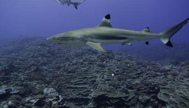 How to Identify Lemon, Bull & Tiger Sharks | Animals - mom me