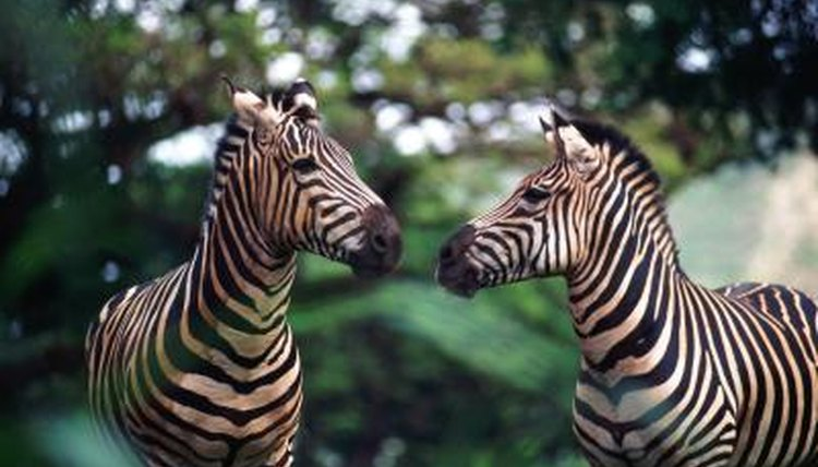 Do Zebras & Horses Make the Same Sound? | Animals - mom me